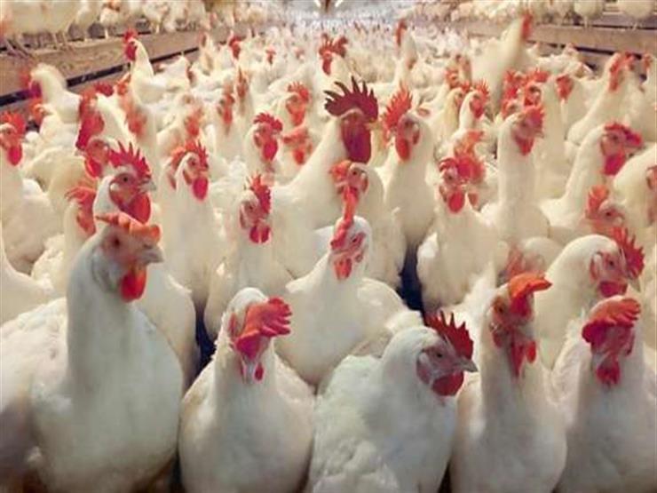 «بيوتنا اتخربت» حالة من الغضب تسيطر على منتجي الدواجن البيضاء في مصر.. تعرف على السعر الآن